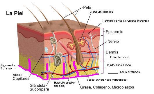 Anatomía y Fisiología archivos - Cosmetología y Spa